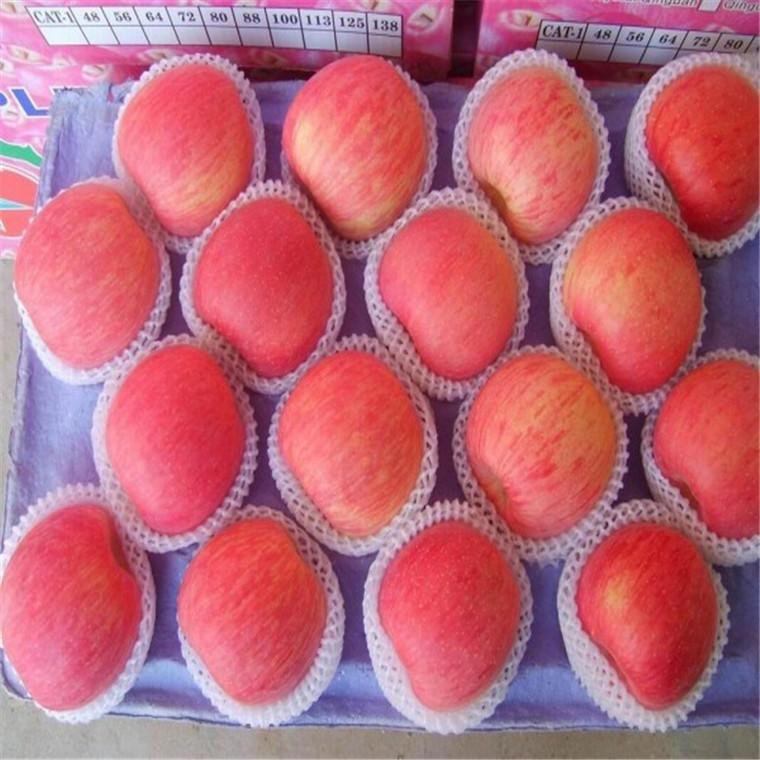 山东红富士苹果 水果脆甜红富士非陕西红富士  沛奇红富士苹果