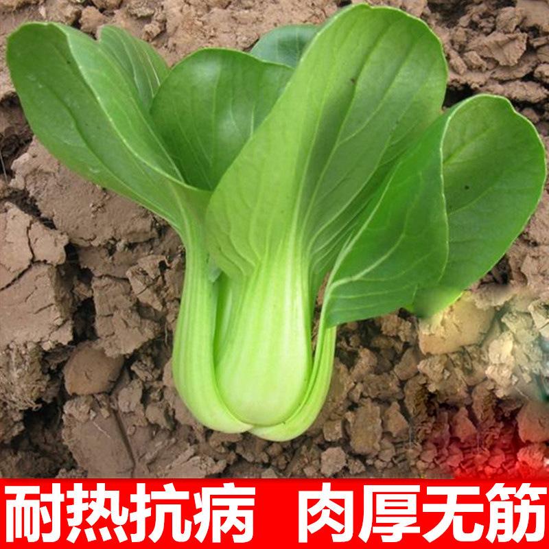 [关彝耿青菜子]田专用高端蔬菜种子油菜100号