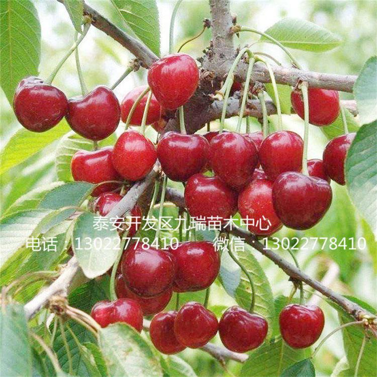 黄蜜樱桃苗价格、先锋樱桃树苗批发基地