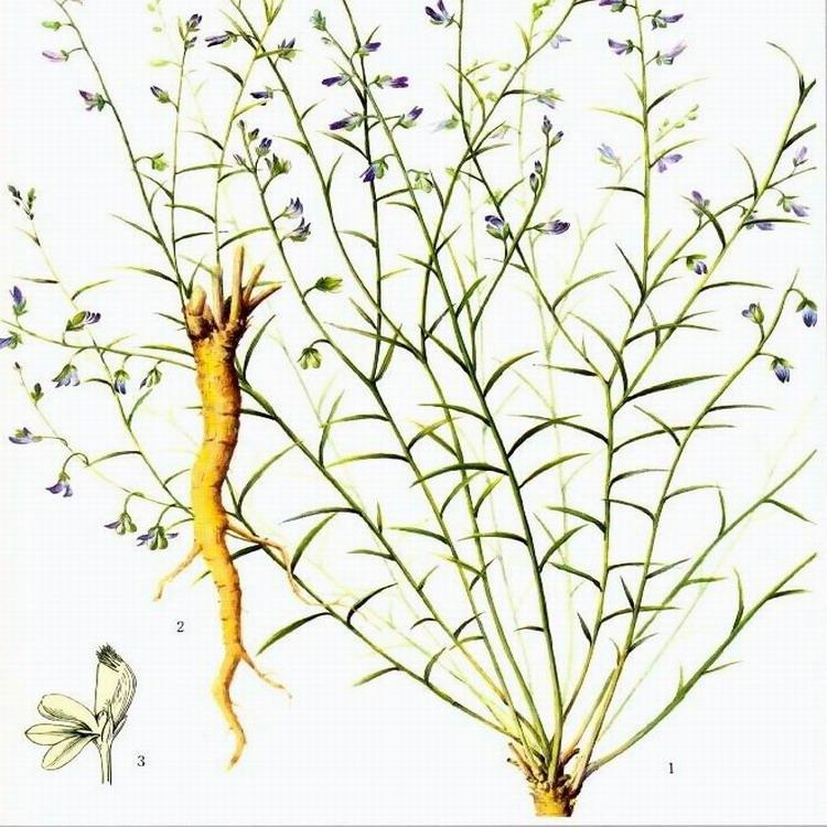 江门 远志种子价格 批发药材远志种子  远志种子药材种子 同创药材