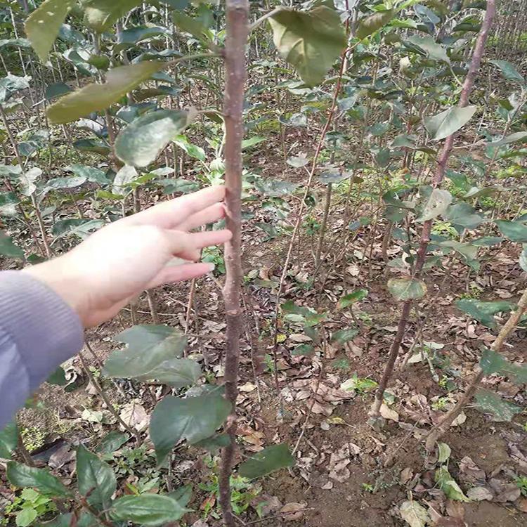 119-06红肉苹果苗批发 品种正宗苹果苗  苹果苗基地出售  茂源园艺