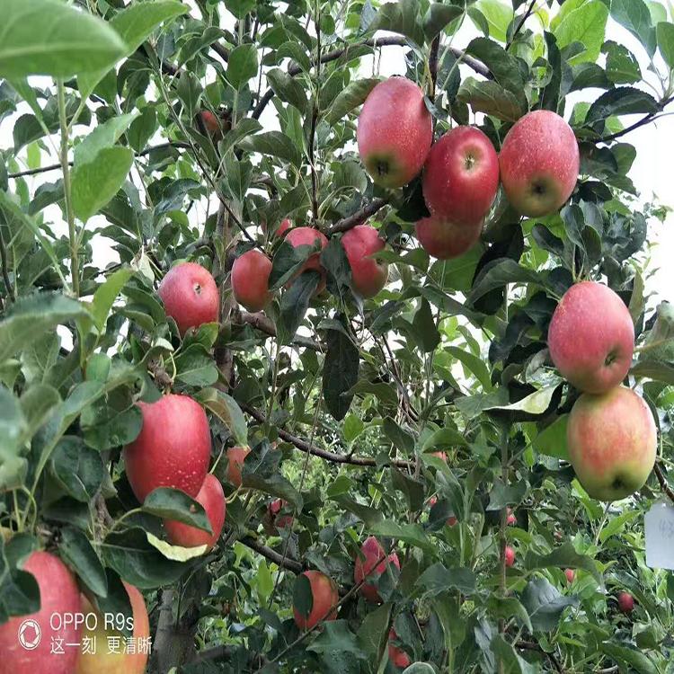 鲁丽苹果苗价格 基地优质矮化苹果苗  供应优质嫁接苹果树  诚萱园艺