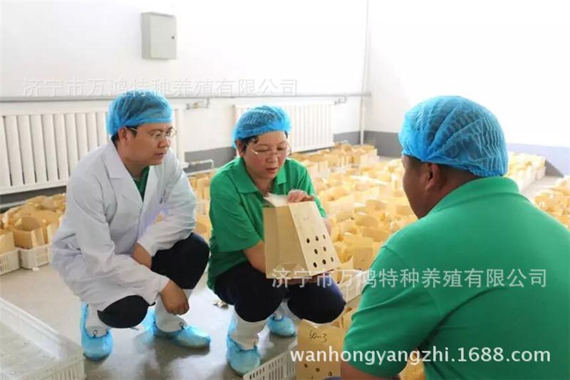 【贵妃鸡出售】贵妃鸡出售价格_贵妃鸡出售批发_贵妃鸡示例图14