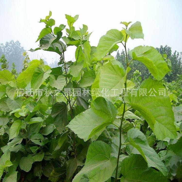 台湾四季桑树苗基地批发 果桑 四季结果 庭院种植果树苗 味甜汁多示例图5
