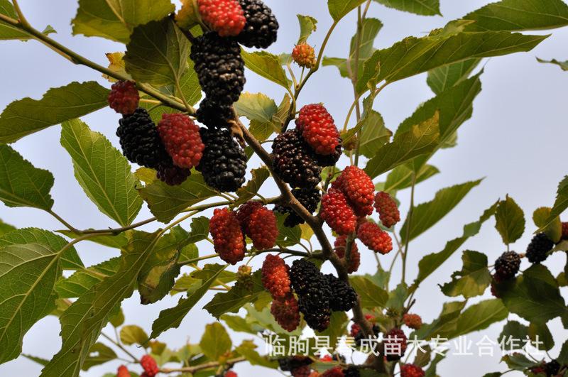 供应广州果树苗 紫椹 桑树苗 果桑苗 花果极多 苗纯价低示例图2