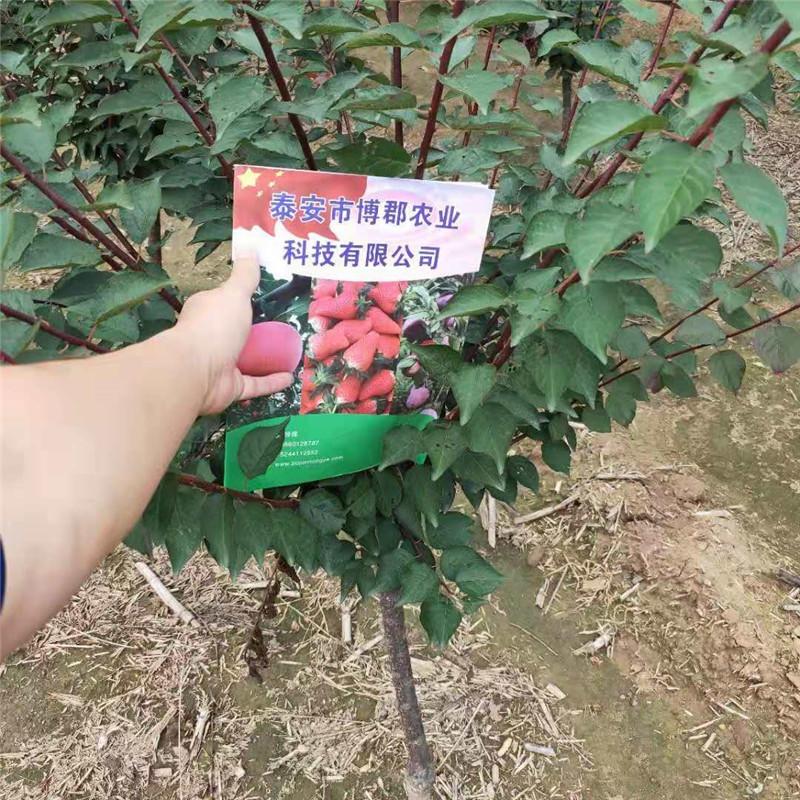 旭日苗木基地出售美人梅树苗_绿化树_优质美人梅树