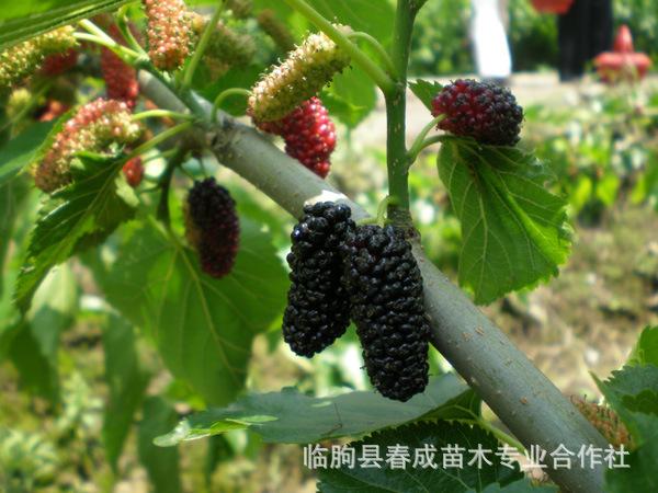 供应广州果树苗 紫椹 桑树苗 果桑苗 花果极多 苗纯价低示例图4