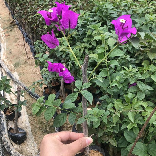 三角梅小苗 三角梅基地批發銷售 三角梅種苗 安格斯云南紫