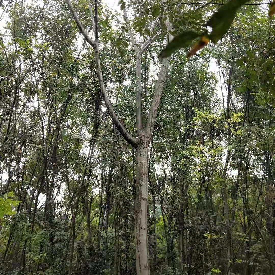 優質欒樹基地,黃山欒樹,13公分價格,河南苗木基地,桿直冠圓