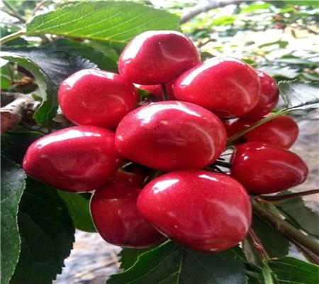 新品种一公分樱桃树送货上门