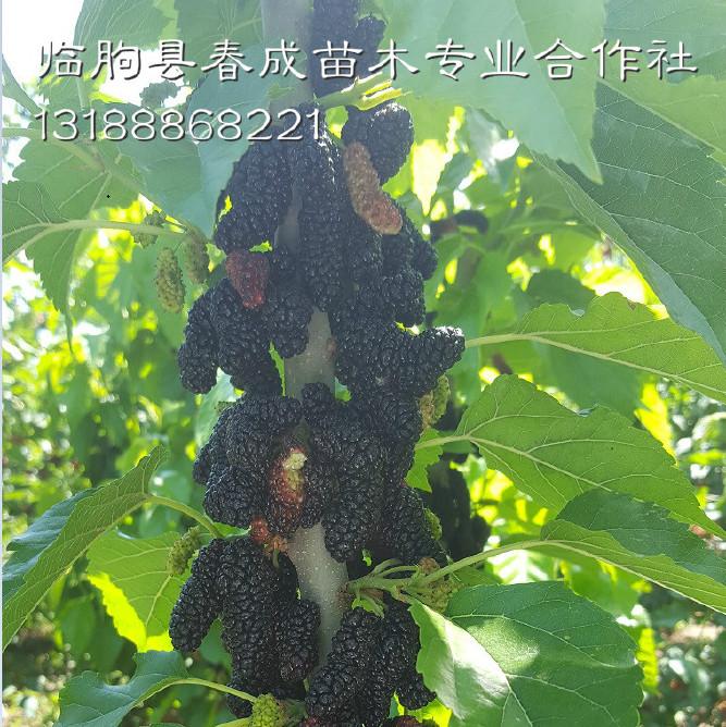 供应产量高好管理的优质果桑苗示例图8