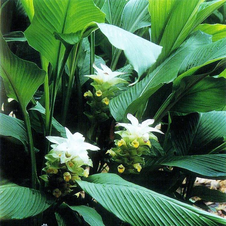 厂家姜黄单方精油批发 天然植物姜黄精油供应