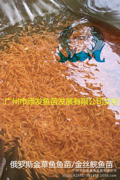 【大量出售】纯种俄罗斯金草鱼鱼苗 金丝鲩鱼苗批发示例图3