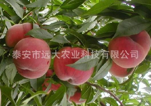 映霜红桃树苗  桃苗价格优惠 成活率高达98% 晚熟雪桃品种示例图8