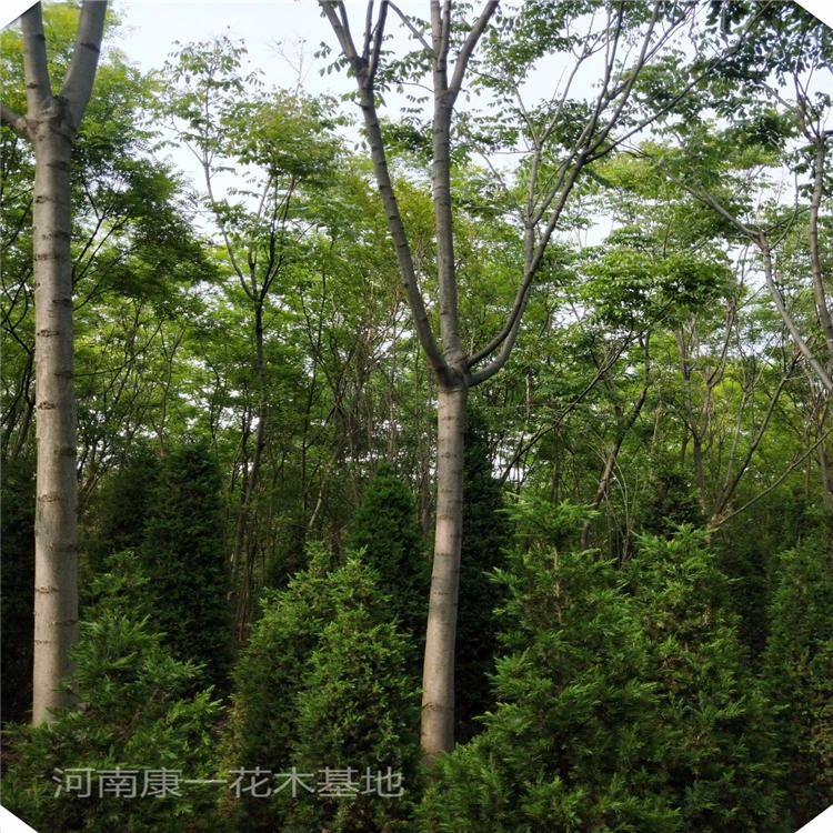 欒樹 供應15公分黃山欒樹 各個規格黃山欒樹價格