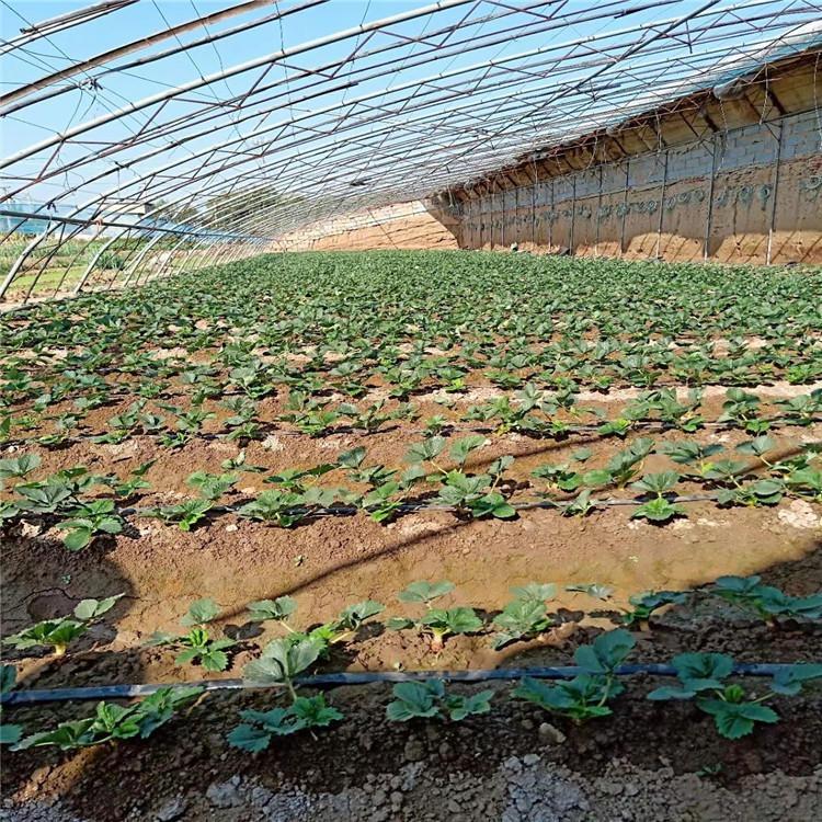 脱毒草莓苗 草莓苗批发厂家 大棚章姬草莓苗出售 桃熏草莓苗批发 四季草莓苗出售基地 供应优质种苗