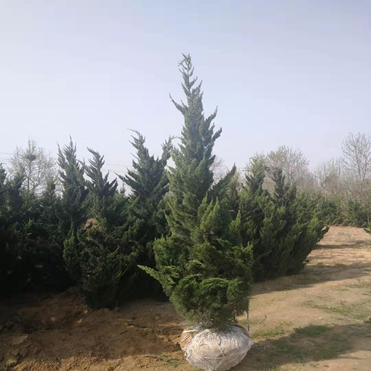 龙柏树 苗圃大量小柏树 绿篱龙柏  万青园林