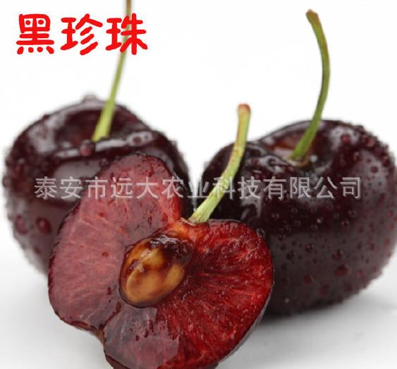 优质红灯樱桃树 基地大量批发嫁接樱桃树 品种齐全 俄八樱桃苗示例图10
