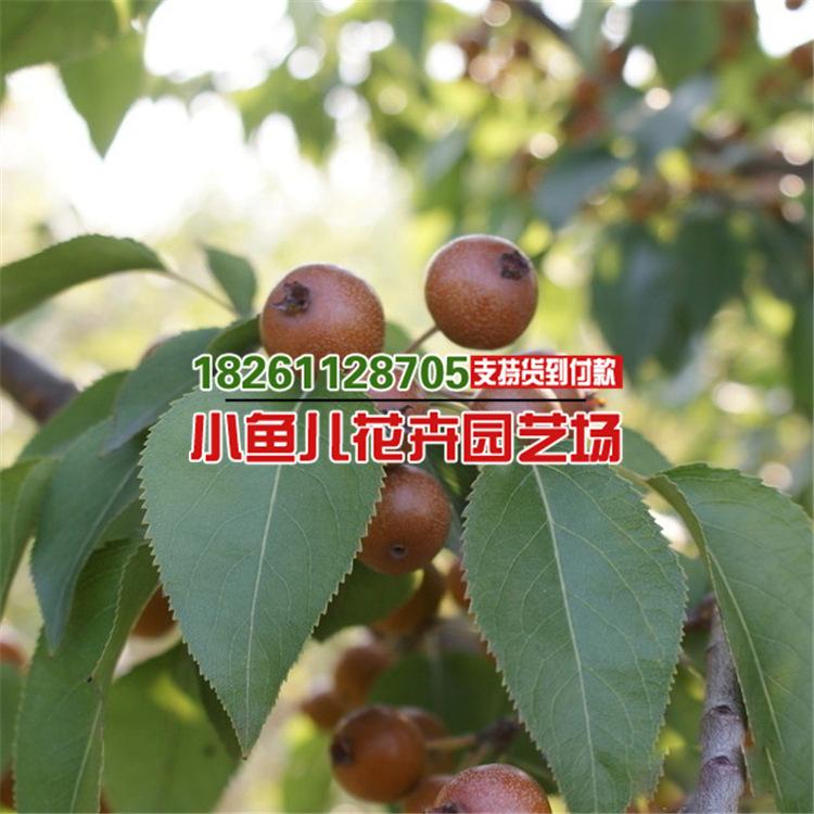 棠梨种子 杜梨种子 易种植 行道树 梨树种子 嫁接砧木种