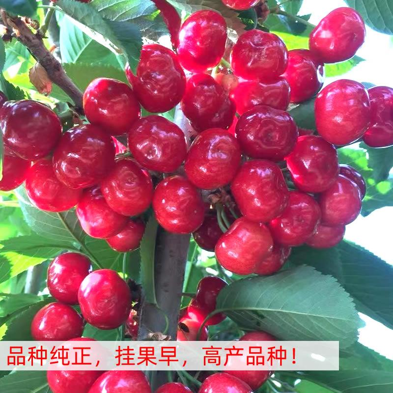 南陽佳紅櫻桃苗幾年掛果