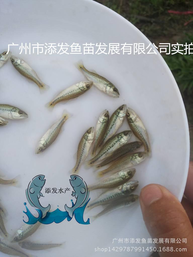 【热卖】加州鲈鱼苗水花 加州鲈鱼苗 鲈鱼苗批发示例图2