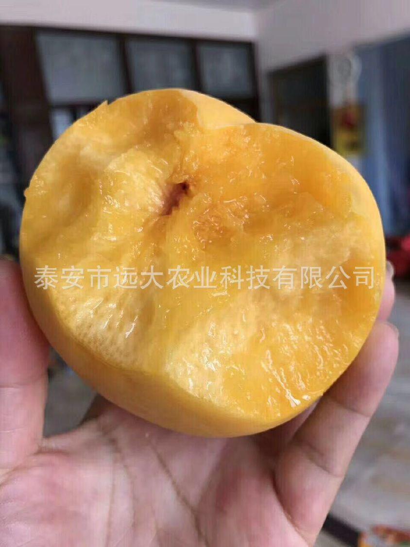 映霜红桃树苗  桃苗价格优惠 成活率高达98% 晚熟雪桃品种示例图19