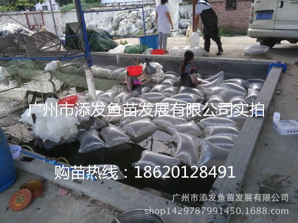 广州市添发鱼苗发展有限公司批发各种优质鱼苗 供应鱼苗示例图15