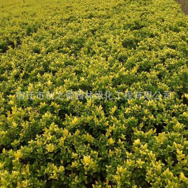 金森女贞基地直销 常绿灌木 园林色绿化色块苗 规格齐全 量大从优示例图3