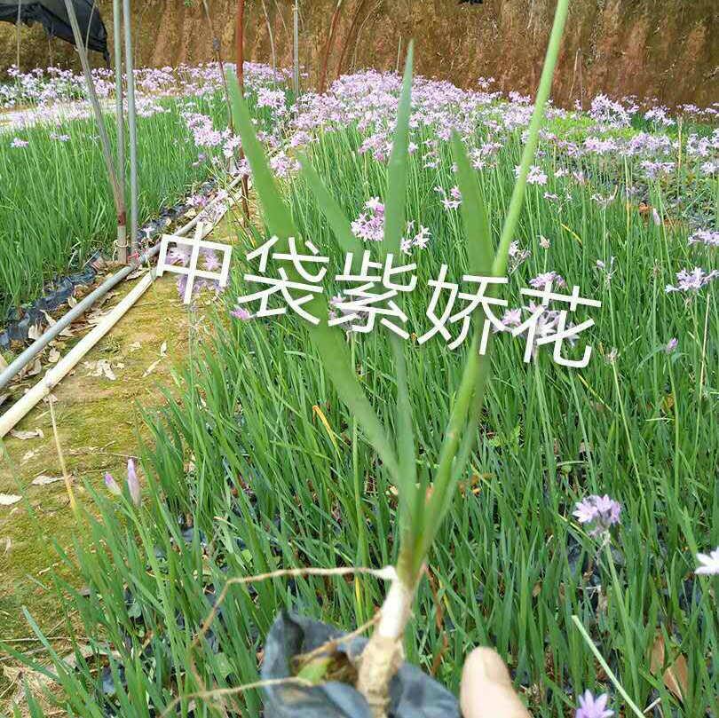 地被植物紫嬌花苗 非洲小百合 園林綠化花卉基地 品種齊全示例圖7
