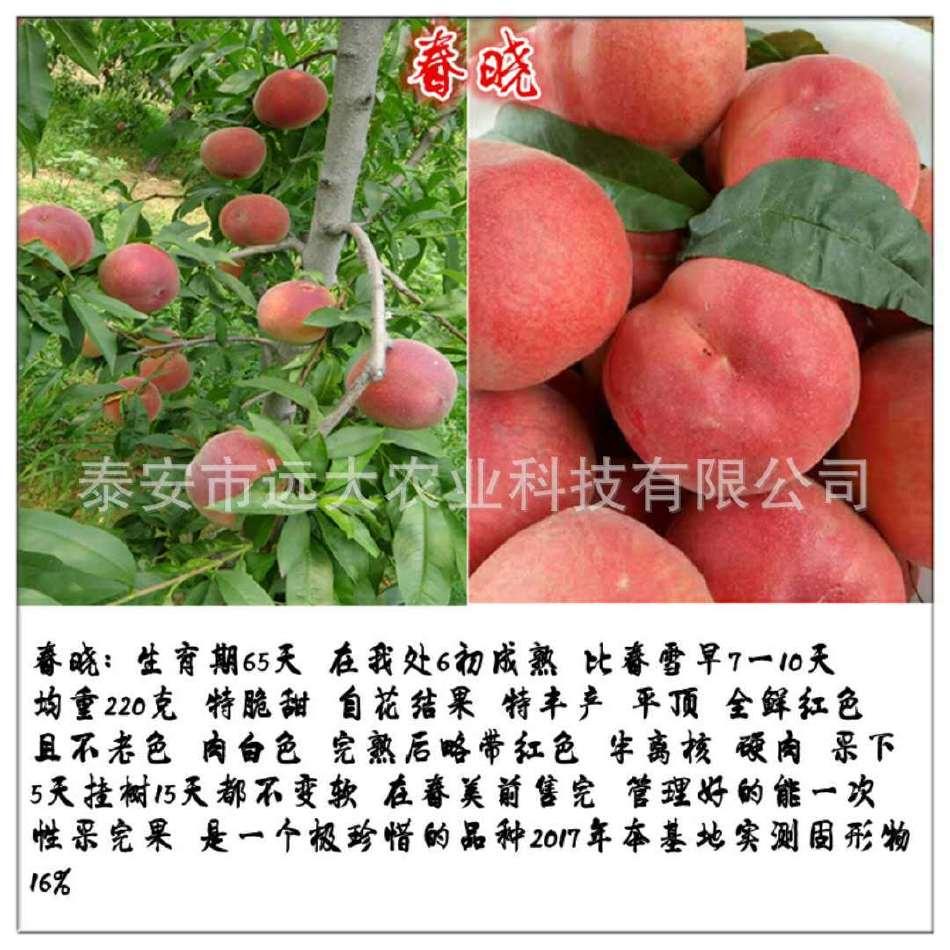 映霜红桃树苗  桃苗价格优惠 成活率高达98% 晚熟雪桃品种示例图3