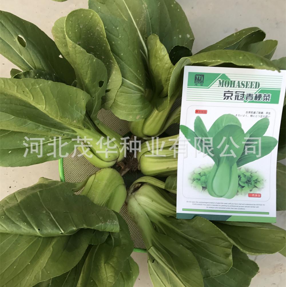 华茂品牌蔬菜种子批发杂交绿茎蔬菜种子京冠油菜种子高抗