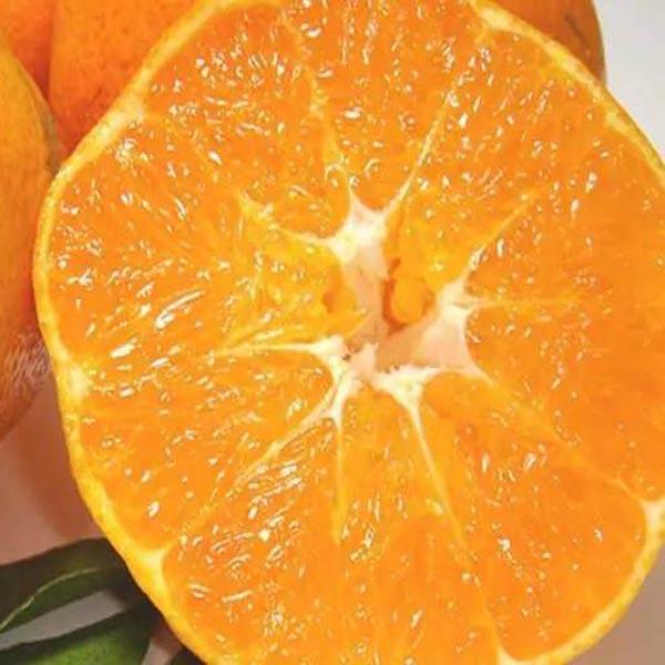 批發愛媛34號桔子苗,甘平柑橘苗,晚熟雜柑,高糖果實大