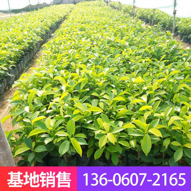 福建漳州黃金榕 盆栽批發 街道園林綠化植物直銷