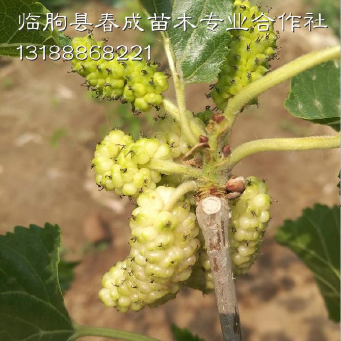 桑葚果树批发示例图12
