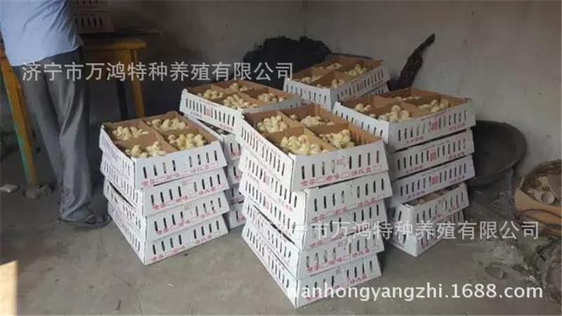 【贵妃鸡出售】贵妃鸡出售价格_贵妃鸡出售批发_贵妃鸡示例图27
