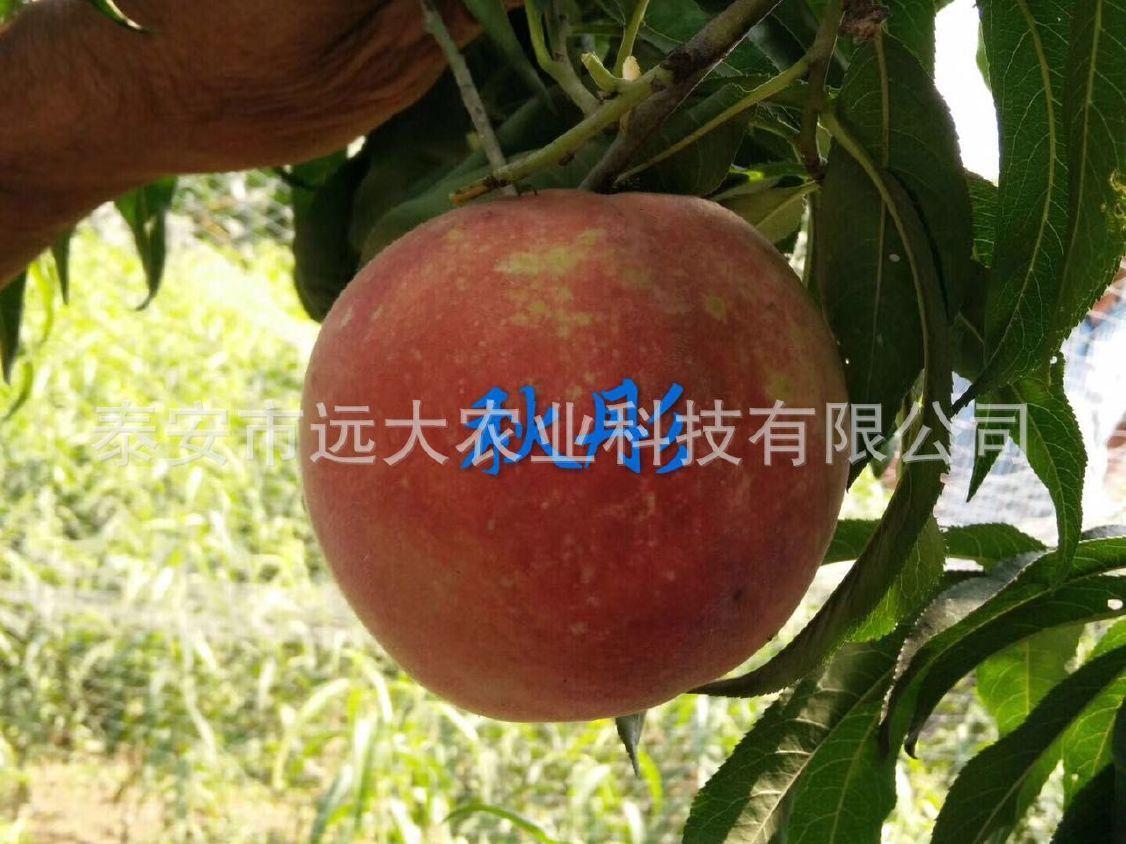 映霜红桃树苗  桃苗价格优惠 成活率高达98% 晚熟雪桃品种示例图20