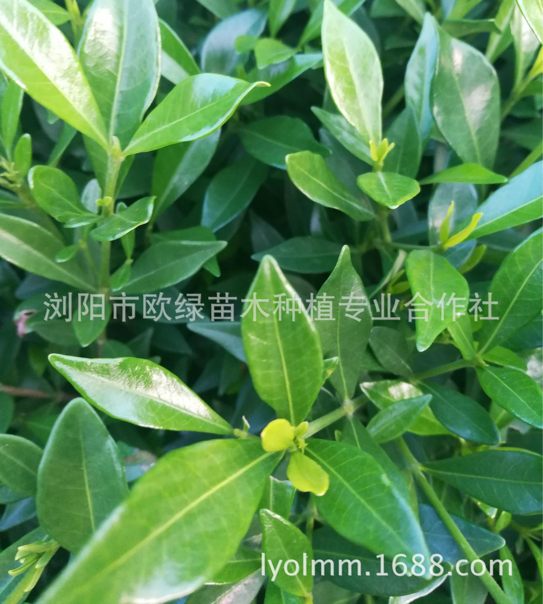 湖南苗木基地供应优质小叶栀子花苗 多种色块绿化苗 量大从