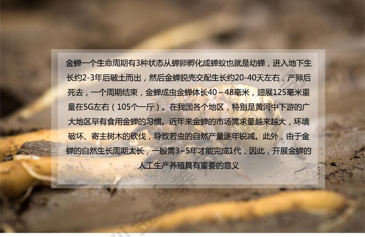 人工养殖知了 金蝉养殖新技术 金蝉怎么种植 人工养殖金蝉 金蝉的养殖技术示例图4