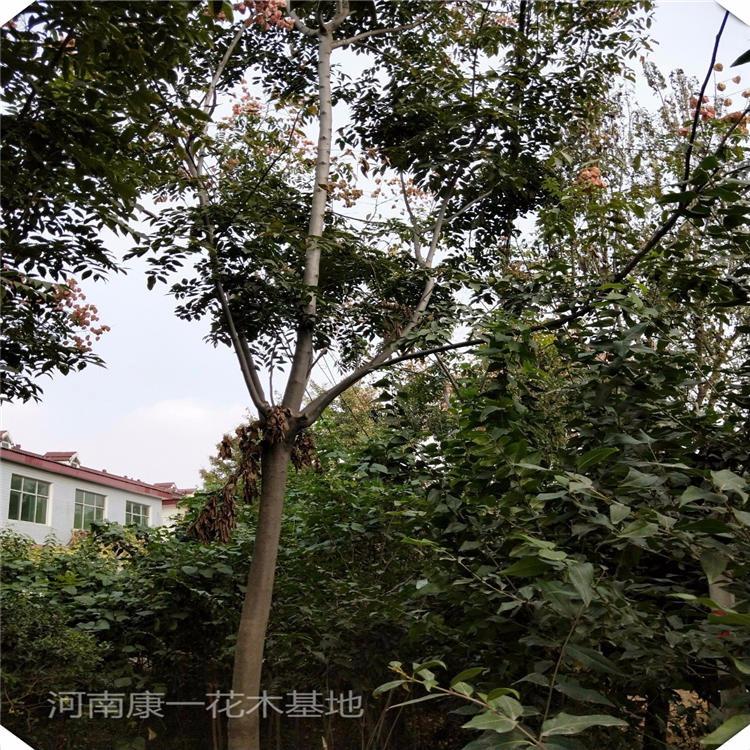 康一 12公分欒樹15公分黃山欒樹價格 規格齊全 河南苗木基地