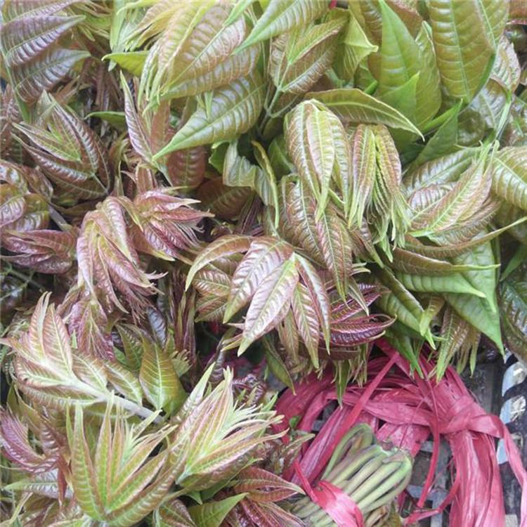 红油香椿苗市场价格  出芽率高大棚红油香椿苗 香椿苗基地 茂源园艺