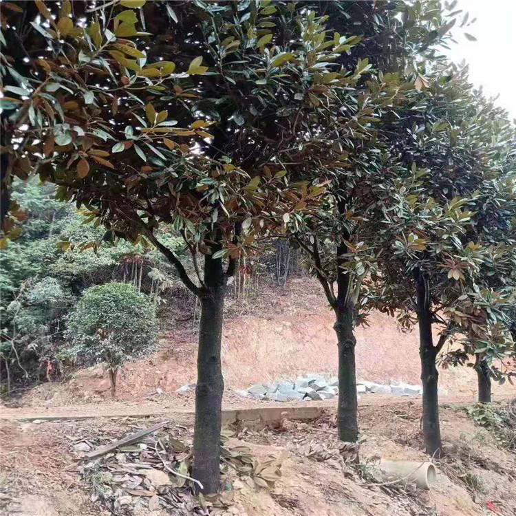 天诚苗圃 10公分广玉兰 广玉兰工程绿化木树 欢迎选购