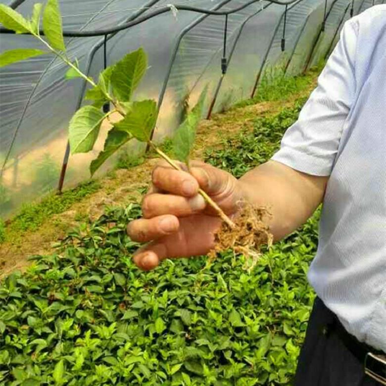 黑珍珠樱桃小苗联系方式 1米高黑珍珠樱桃苗