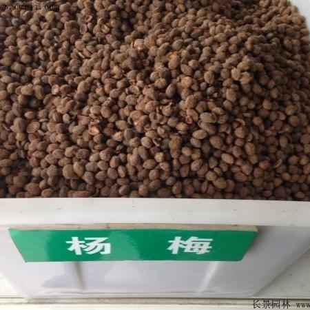杨梅种子优质种子  长景园林   批发零售