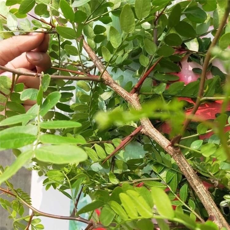 基地出售1公分以上皂角树苗 入药用大刺皂角树苗