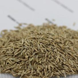 白标多年生黑麦草种子价格   多年生黑麦草种子批发  一斤起发  量大优惠