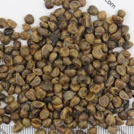 销售爬山虎种子  爬山虎种子批发  爬山虎种子价格  一斤起发货